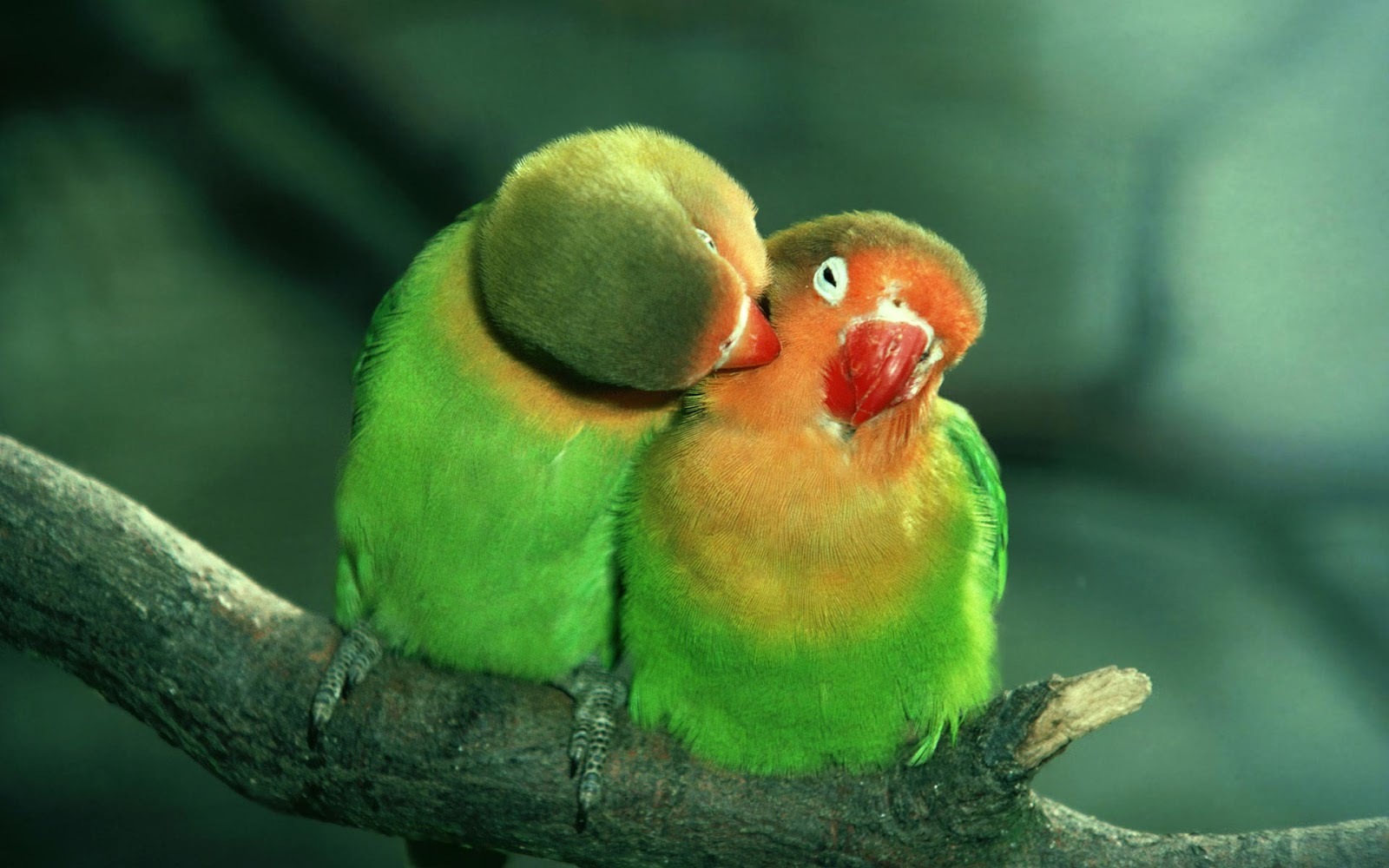 love_birds_green_parrot
