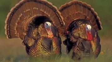 Pastured-Turkey
